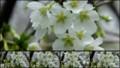 [北大植物園の花]2013年5月18日撮影:ミドリザクラ