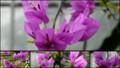[北大植物園の花]2013年5月18日撮影:テリハイカダカズラ