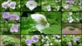 [北大植物園の花]2013年5月18日撮影:白根葵