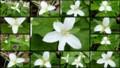 [北大植物園の花]2013年5月18日撮影:オオバナノエンレイソウ