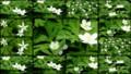 [北大植物園の花]2013年5月18日撮影:二輪草