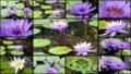 [北大植物園の花]2013年5月18日撮影:睡蓮