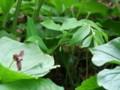 [小樽の花]大甘野老、裏山にて2012年5月29日撮影