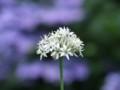 [小樽の花]庭にて2013年8月11日撮影