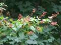 [小樽の花]裏山にて2013年8月11日撮影