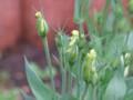 [小樽の花]庭にて2013年8月31日撮影