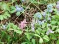 [小樽の花]蝦夷延胡索庭にて2014年5月3日撮影