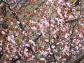 [小樽の花]蝦夷山桜ご近所で2014年5月3日撮影