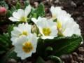 [小樽の花]庭にて2014年5月3日撮影