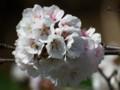 [小樽の花]手宮緑化植物園にて千島桜2014年5月11日撮影