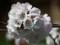 手宮緑化植物園にて千島桜2014年5月11日撮影