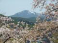 [小樽の花]手宮公園にて塩谷丸山2014年5月11日撮影