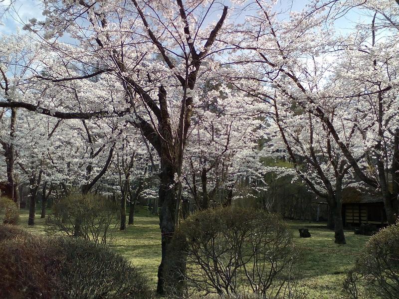 20210421-聖光寺の桜