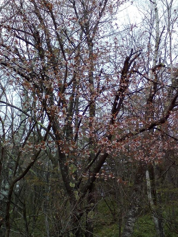 20210510-山桜