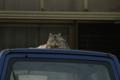 隣の軽トラの屋根の上の隣の猫