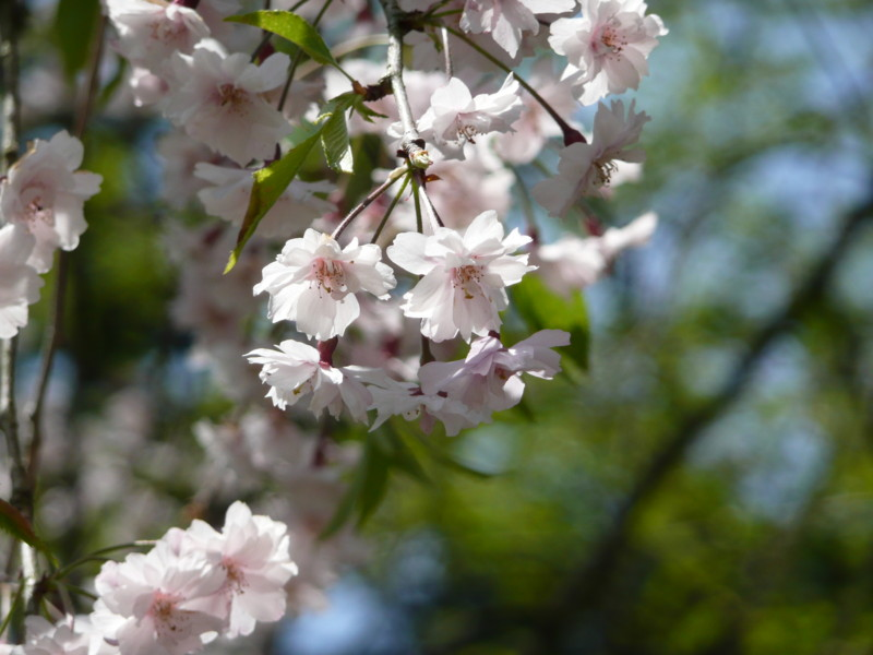 [角館][桜]