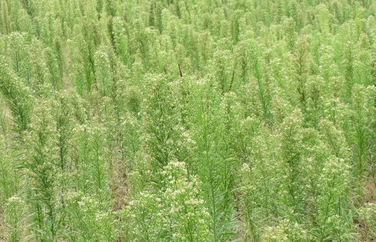 How To Get Rid Of Horseweed - A Guide - Simple Front Yard
