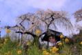 京都新聞写真コンテスト 満開近し