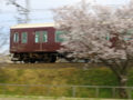 京都新聞写真コンテスト 「桜のカーテン」