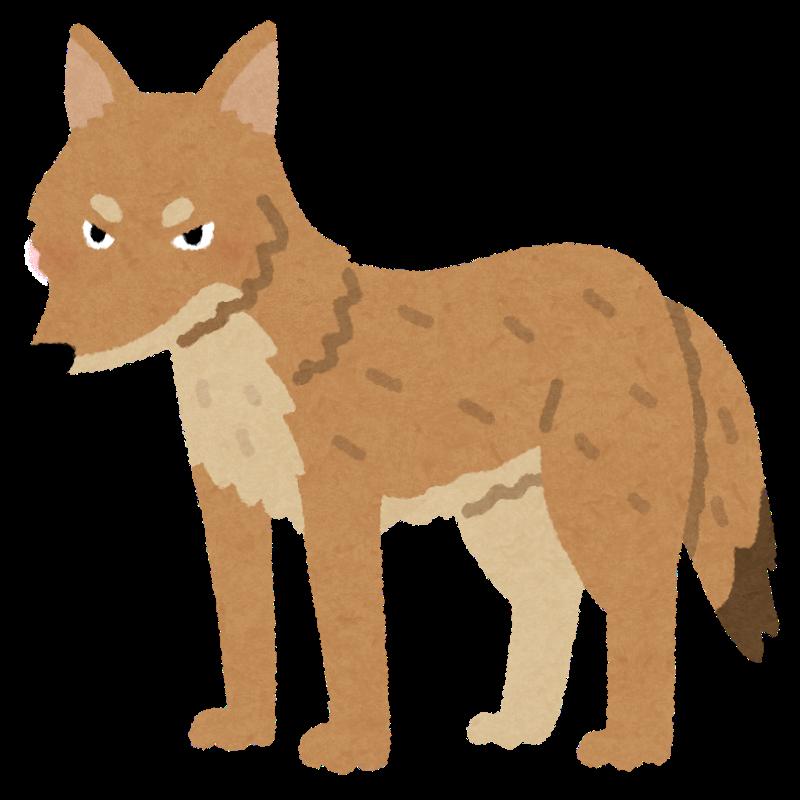 Animal coyote