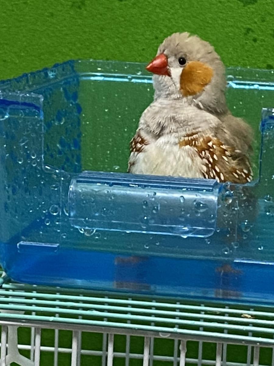 水浴びするキンカチョウのパチェ。