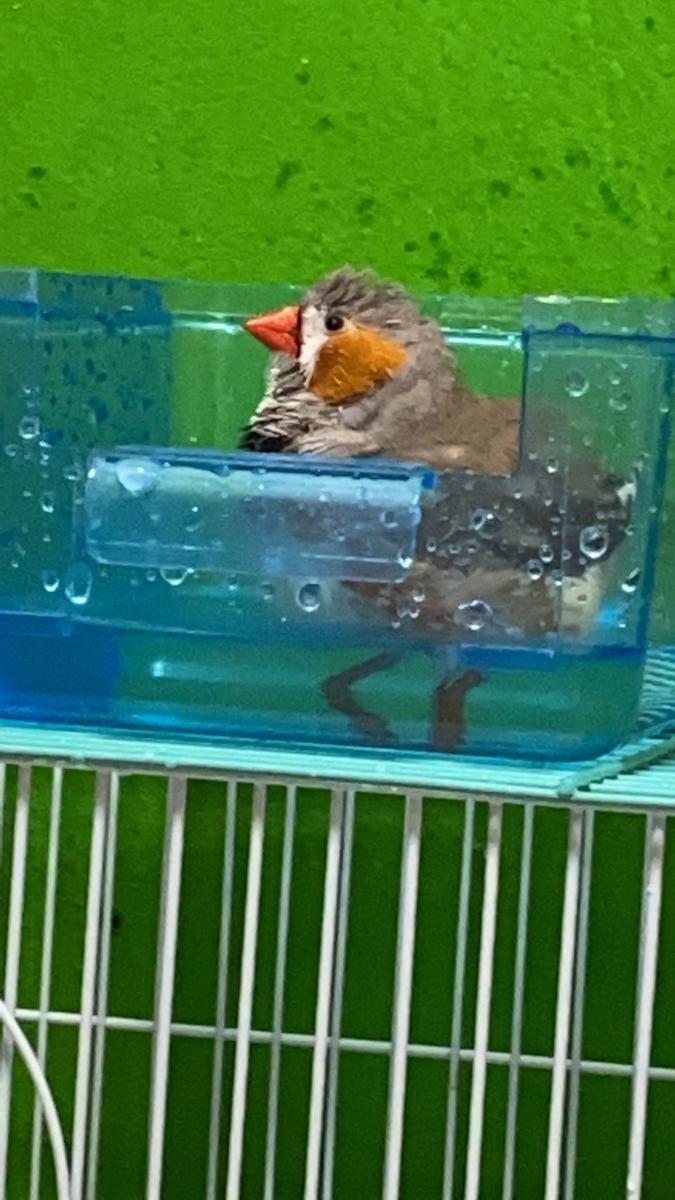 同じく水浴びするチラシ。