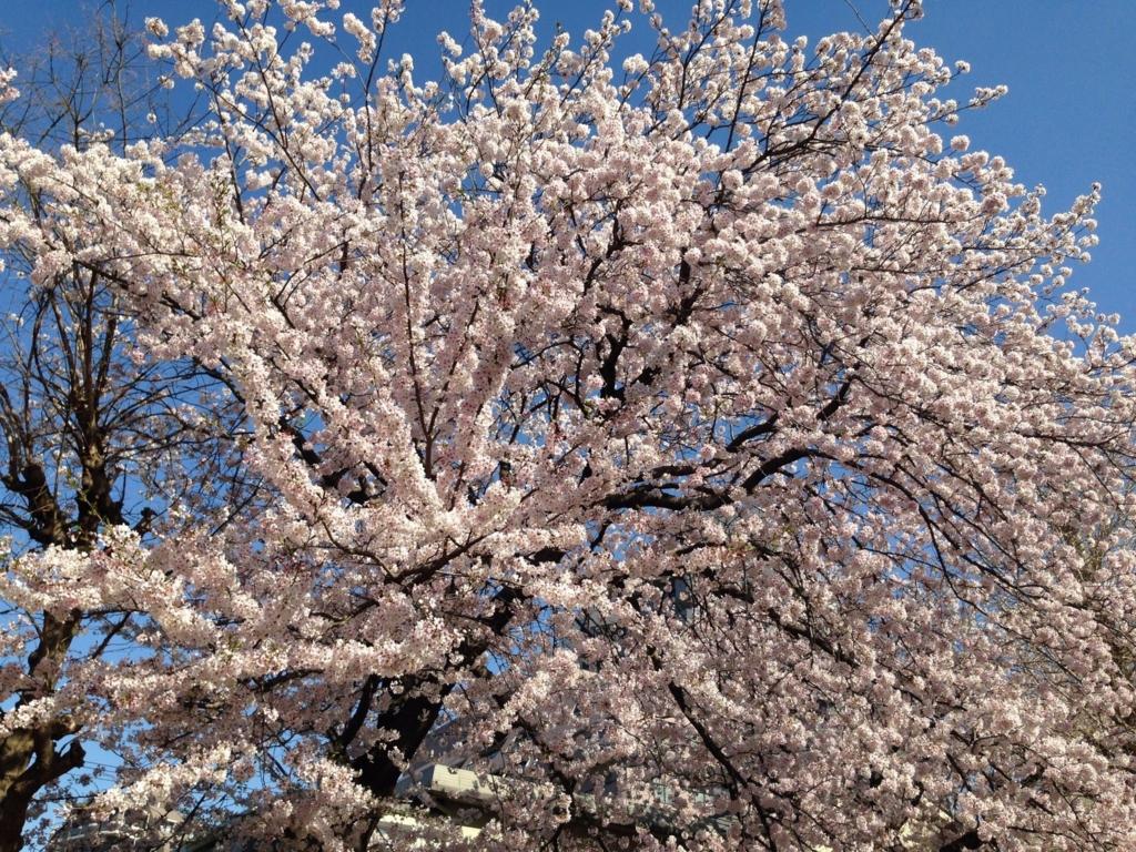 春、桜満開