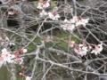 偕楽園の二季桜 (茨城県水戸市)