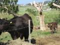 小浜の牛 (小浜島)