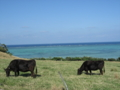 小浜島の牛 (小浜島)