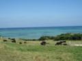 小浜の牛たち (小浜島)