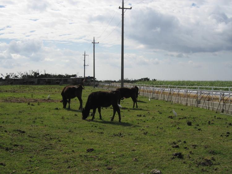 波照間の牛たち  (波照間島)