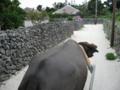 水牛車より  (竹富島)