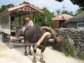 竹富の水牛車  (竹富島)