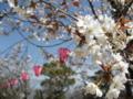 高知城の桜 多分ソメイヨシノではないと思う (高知県高知市)