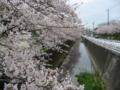 満開の桜 (静岡県静岡市)