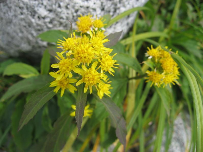 木曽駒ヶ岳の高山植物 (長野県駒ヶ根市)