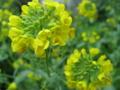 知覧に咲く菜の花 (鹿児島県南九州市)