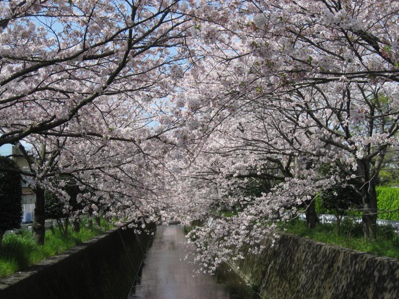 桜満開の巴川 (静岡県静岡市)