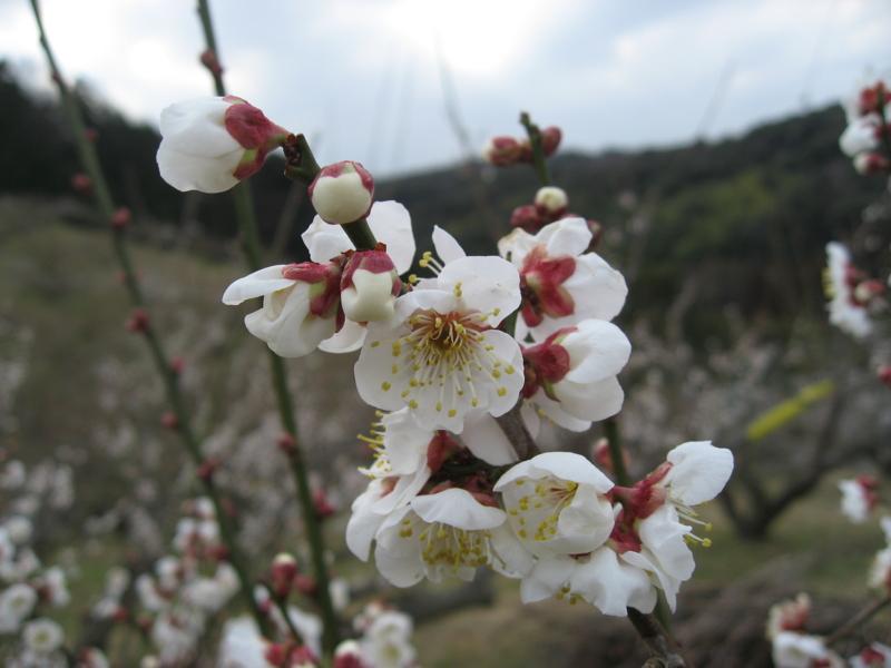 豊岡梅園の梅 (静岡県磐田市)