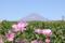 富士山と茶畑、コスモス (静岡県富士市)