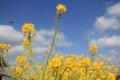 春の匂いを感じる吉野ヶ里町に咲く菜の花 (佐賀県吉野ヶ里町)