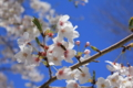 桜とハチ (静岡県静岡市)