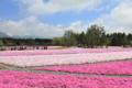 富士芝桜まつり2013