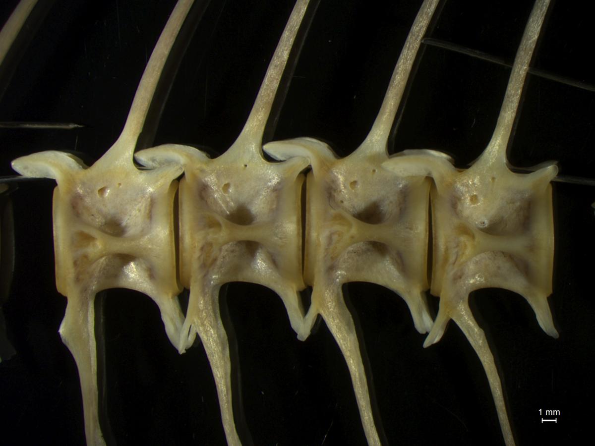 図4:マグロの椎骨