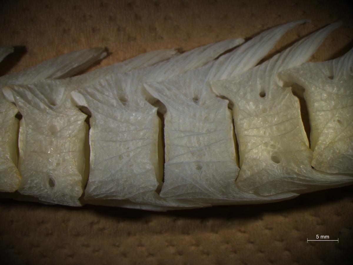 図5:キアンコウの椎骨