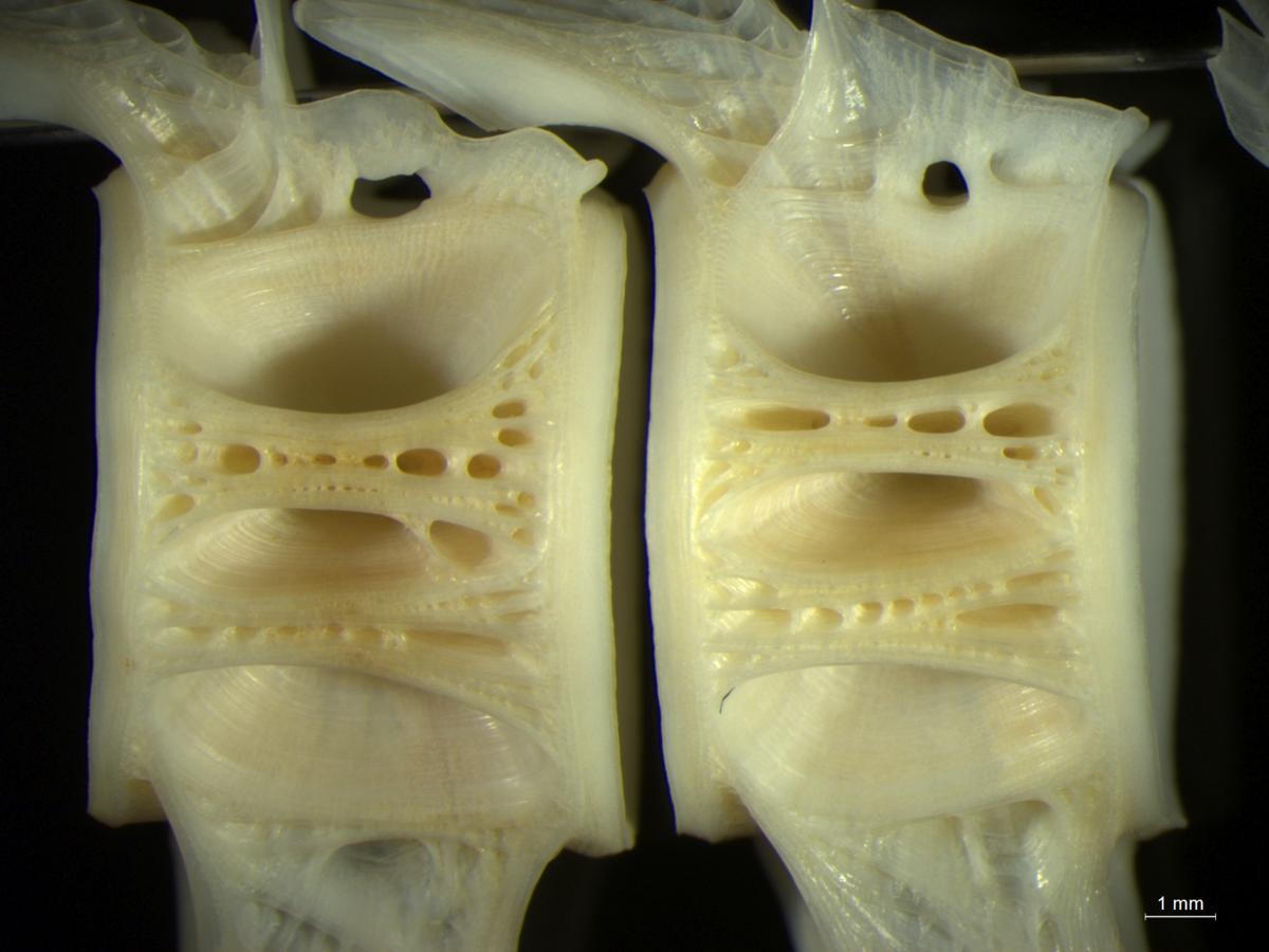 カガミダイの椎骨