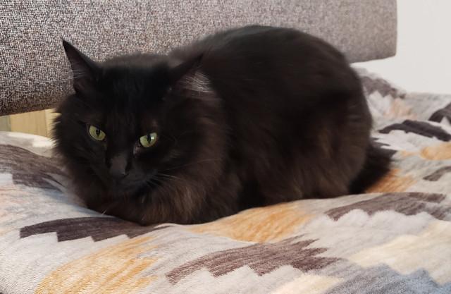 猫 黒猫 香箱座り 猫好きさんと繋がりたい