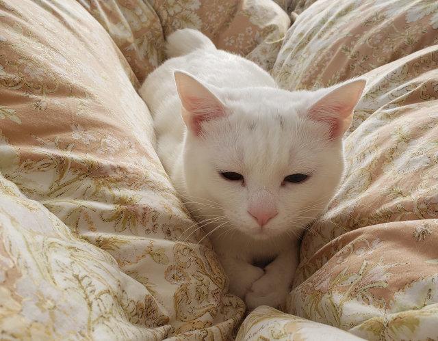 猫 白猫 香箱座り 猫好きさんと繋がりたい