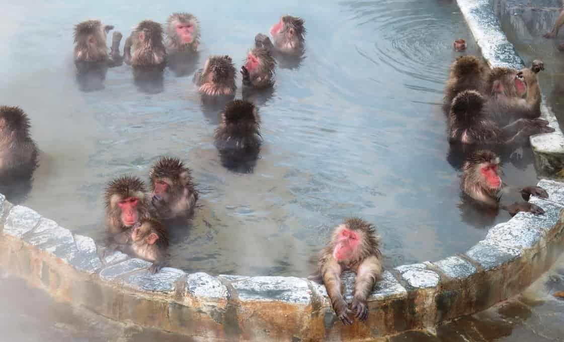 湯の川温泉のサル